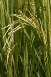 Riso e granuli di riso Fotografia Stock