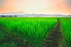 Riso e tramonto del campo Fotografie Stock