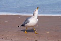 Riso faturado anel da gaivota Imagem de Stock
