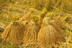 riso giallo in azienda agricola Immagine Stock Libera da Diritti