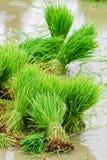 Riso nel campo di risaia Immagini Stock