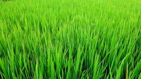 Riso nel campo, valle di PA del Sa, Vietnam Immagini Stock Libere da Diritti