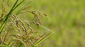 Riso nell'agricoltura con il colore piacevole del fondo Fotografia Stock
