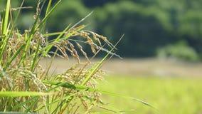 Riso nell'agricoltura con il colore piacevole del fondo Fotografie Stock Libere da Diritti