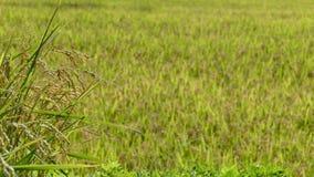 Riso nell'agricoltura con il colore piacevole del fondo Immagini Stock