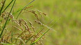Riso nell'agricoltura con il colore piacevole del fondo Fotografia Stock Libera da Diritti