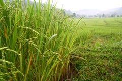 Riso nella risaia, MAI di Chaing, Tailandia Immagini Stock