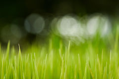riso Riso verde fresco con il primo piano di gocce di rugiada Fuoco molle Sommario Fotografie Stock