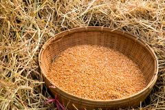 Riso rosso organico tailandese del gelsomino Immagini Stock Libere da Diritti