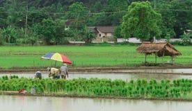 Riso tailandese delle piante degli agricoltori alla risaia Fotografie Stock Libere da Diritti