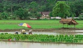 Riso tailandese delle piante degli agricoltori alla risaia Immagini Stock