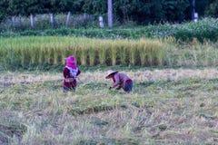 Riso tailandese di Harvest dell'agricoltore nel campo Fotografia Stock