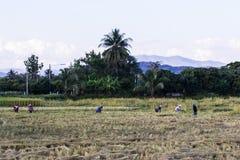 Riso tailandese di Harvest dell'agricoltore nel campo Immagine Stock