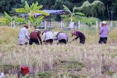 Riso tailandese di Harvest dell'agricoltore nel campo Fotografie Stock Libere da Diritti