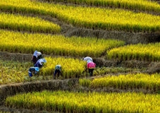 Riso a terrazze sulla montagna, provincia di Chiangmai, nordica della Tailandia Immagini Stock Libere da Diritti