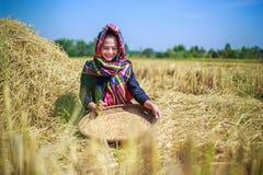 Riso trebbiato donna dell'agricoltore nel campo Fotografia Stock