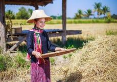 Riso trebbiato donna dell'agricoltore nel campo Immagini Stock