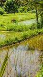 Riso in un campo, Bali, Indonesia del trapianto dell'agricoltore Fotografia Stock Libera da Diritti