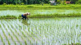 Riso in un campo, Bali, Indonesia del trapianto dell'agricoltore Fotografie Stock