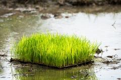 Riso in una fine del campo di risaia in su Immagine Stock