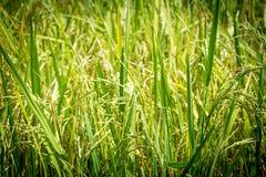 Riso verde Fotografia Stock