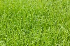 Riso verde Immagini Stock
