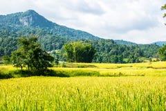 Riso verde bello nel campo Immagini Stock