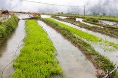 Riso verde che cresce sull'azienda agricola Immagine Stock