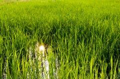 Riso verde del campo Fotografia Stock Libera da Diritti