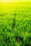 Riso verde del campo Immagine Stock Libera da Diritti