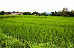 riso verde dell'azienda agricola Fotografie Stock