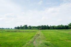riso verde dell'azienda agricola fotografia stock