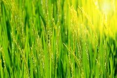 Riso verde di mattina Fotografia Stock Libera da Diritti