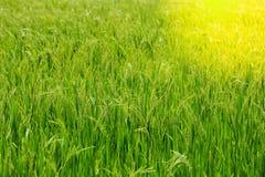 Riso verde di mattina Fotografie Stock Libere da Diritti