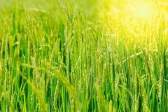 Riso verde di mattina Immagini Stock Libere da Diritti