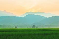 Riso verde e tramonto del campo Fotografie Stock Libere da Diritti