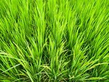 Riso verde field4 Immagine Stock