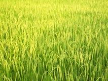 Riso verde nei campi Immagine Stock Libera da Diritti
