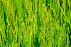 Riso verde nei precedenti Fotografia Stock Libera da Diritti