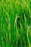 Riso verde nei precedenti Fotografia Stock