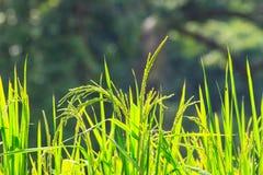 Riso verde nel campo Fotografia Stock Libera da Diritti