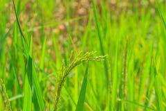 Riso verde nel campo Immagine Stock