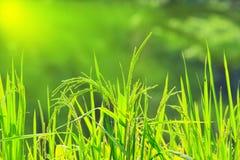 Riso verde nel campo Fotografia Stock