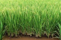 Riso verde nel giacimento del riso per il fondo della natura Immagini Stock