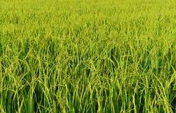Riso verde nel giacimento del riso per il fondo della natura Fotografie Stock Libere da Diritti
