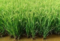 Riso verde nel giacimento del riso per il fondo della natura Fotografia Stock
