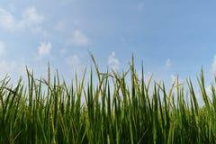 Riso verde nel giacimento del riso per il fondo della natura Fotografia Stock Libera da Diritti