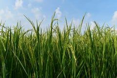 Riso verde nel giacimento del riso per il fondo della natura Fotografie Stock
