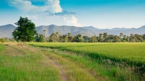 Riso verde nel riso del campo Immagini Stock