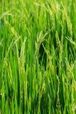 Riso verde nel riso del campo Immagine Stock Libera da Diritti